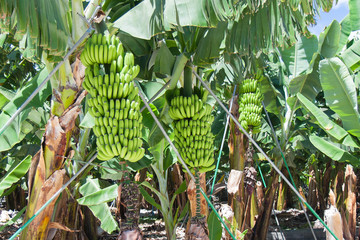 Detail of a banana plantation at La Palma