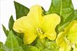 Gelbes Bilsenkraut, Heilpflanze des Mittelalters