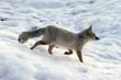 Fototapeta Bezdroża - Dzikie zwierzę -