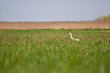 Stork standing in a high grass