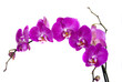 Fototapeten,orchid,blume,frische,rosa