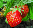 Strawberry plant, two berries, outdoor shot