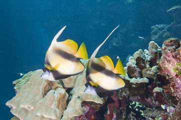 Pair of moorish idols on a reef