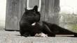 -liegende schwarze Katze