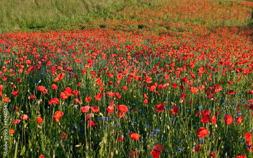 Fototapeten,maki,idyllisch,kornblume,rot
