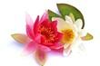 Blütenpracht - Seerosen mit grünem Blatt - 42663701