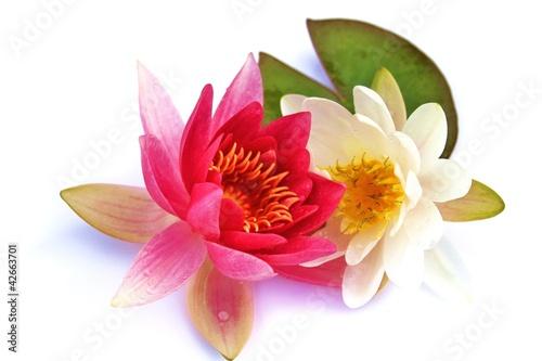 Fototapeten,blütenpaar,lotus,seerose,stilleben