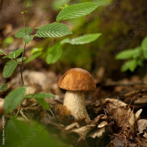 grzyby grzyb prawdziwek kozak borowik grzybobranie las