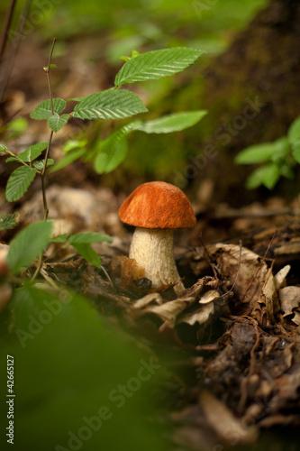 czerwoniak grzyb kozak prawdziwek grzyby las rośnie