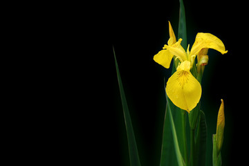 fresh black iris on black background