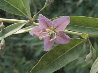 goji berry flower