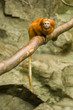 Lion tamarin monkey