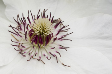 White clematis flower