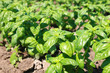 new green bio basil plant field