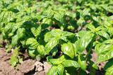 new green bio basil plant field