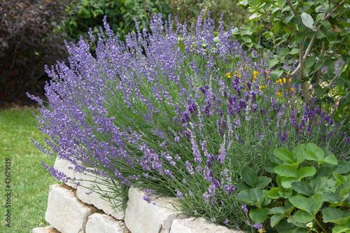 Lavendel ... duftendes Heilkraut
