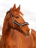 Beautiful latvian breed chestnut horse