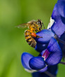 Bee on Texas bluebonnet