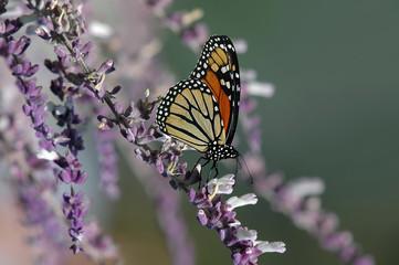 Monarch butterfly on purple salvia flowers