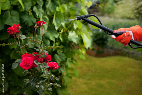 Protecting roses from vermin with pressure sprayer
