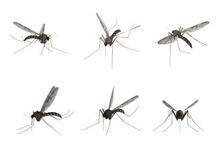 Mosquito, isolated on white background