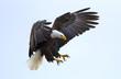 Leinwandbild Motiv Bald eagle
