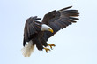 Leinwanddruck Bild - Bald eagle