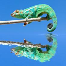 caméléon sur branche