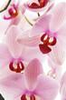 Fototapeten,orchidee,blume,aromatisch,hintergrund