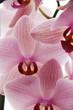 Fototapeten,blume,orchidee,aromatisch,hintergrund