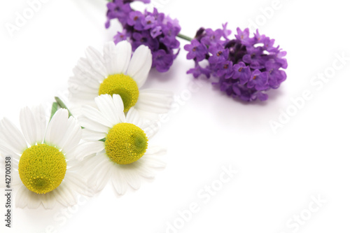 Chamomiles and lavender flowers on white background