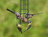Birds Feeding,various species,bird feeder.