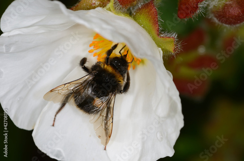 close up of bee on white flower