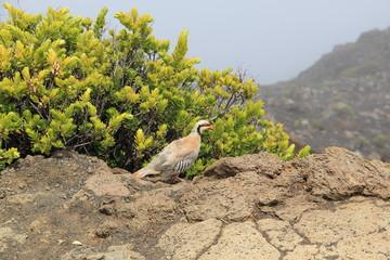 Chukarhuhn auf dem Gipfel des Haleakala auf Maui (Hawaii)