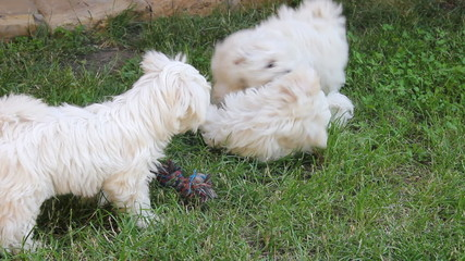 Maltese puppy playing in a backyard