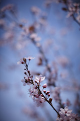 Close up of pink cherry blossoms on tree