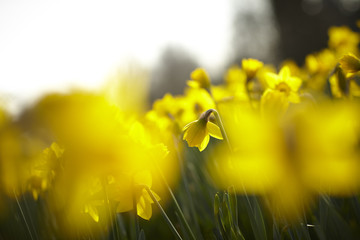 Close up of yellow daffodils