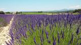 Lavandes en Provence