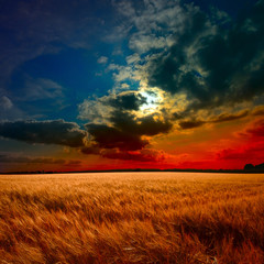 yellow field at the sunset