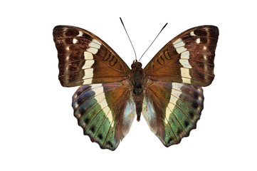 green butterfly (Euthalia franciae, French Duke) Isolated