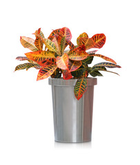 House plant -  Tropical Croton