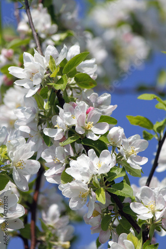 canvas print picture blooming cherry tree in spring