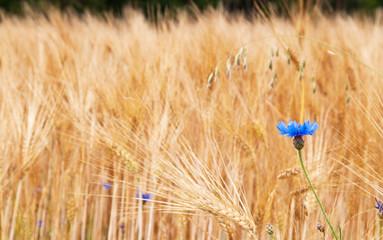 Gerstenfeld mit einer Kornblume