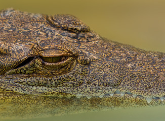 Closeup of a crocodile with its head partially submerged