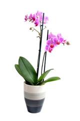 orchidea Phalaenopsis im Blumentopf