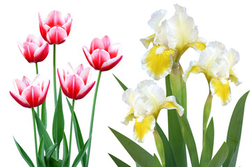 tulips irises flowers it is isolated a holiday