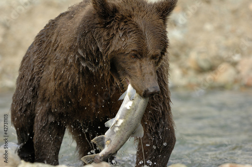 Grizzly Bear catching salmon.