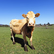 the most beautiful cow
