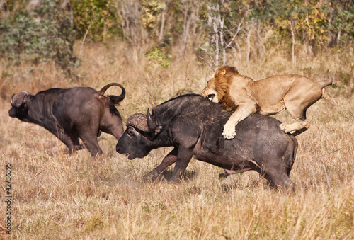 Fotobehang Leeuw Male lion attack huge buffalo bull
