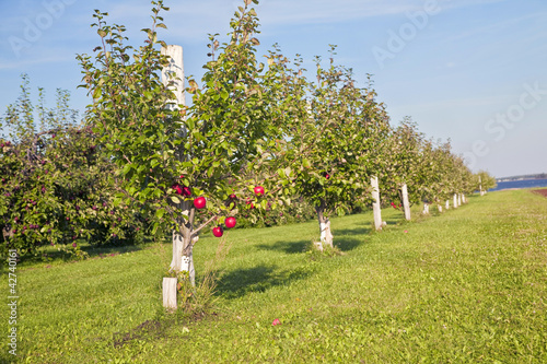 Honeycrisp Apple Orchard